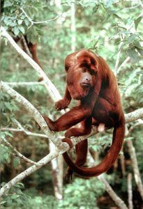 Red Howler monkey from Amazon cruise on Motor Yacht Tucano