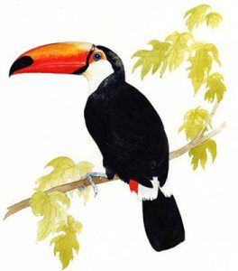 Toco Toucan Drawing on the Motor Yacht Tucano