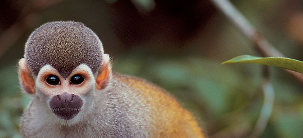 squirrel Monkey amazon rainforest