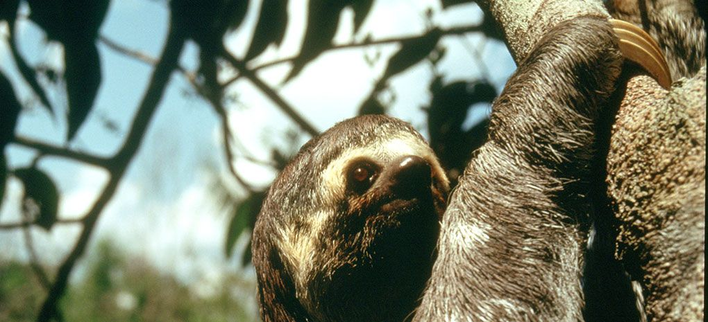 Three Toed Sloth Close-up