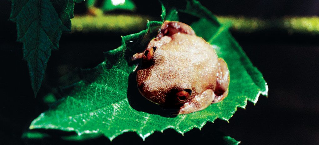 Amazon Rainforest Toad Resting on Leaf