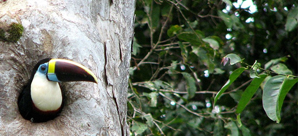 White Throated Toucan in Tree on MY Tucano Amazon River Cruise and Rainforest Expedition Tour