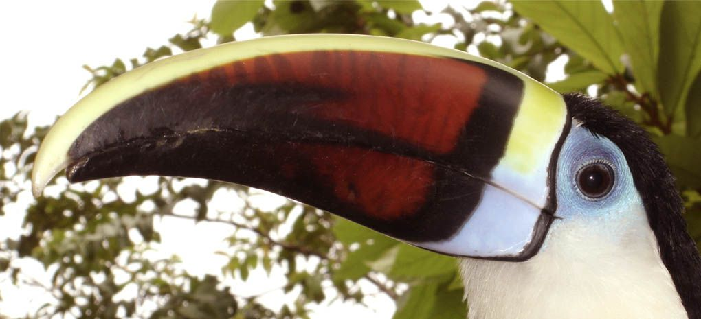Close-up of White Throated Toucan on MY Tucano Amazon River Cruise and Rainforest Expedition Tour