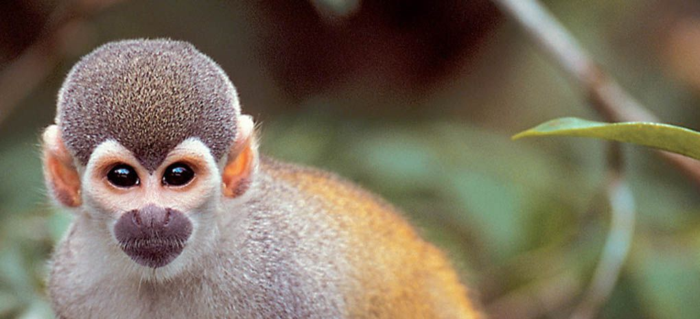 Squirrel Monkey seen on an Amazon River Cruise and Rainforest Jungle Expedtition