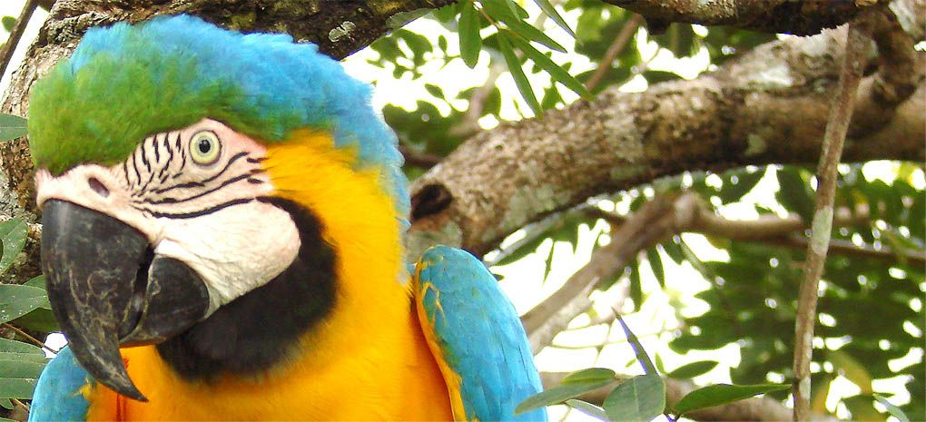 Blue, Gold and Green Macaw on MY Tucano Amazon River Cruise and Rainforest Expedition Tour