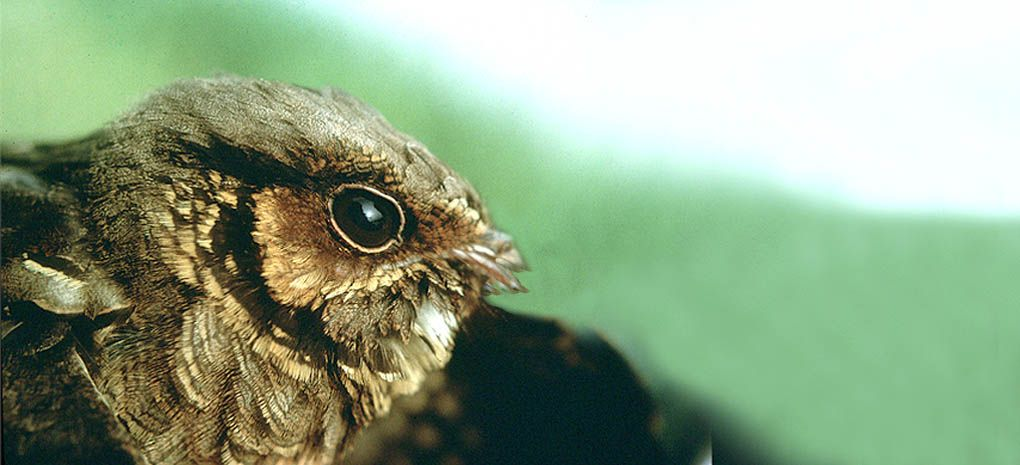 Nightjar on MY Tucano Amazon River Cruise and Rainforest Expedition Tour